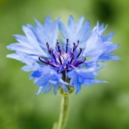 Cornflower image taken in July