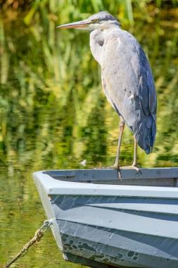 Heron HDR Image