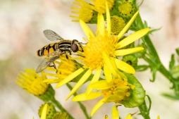 Hoverfly 2 - Helophilus pendulus