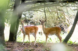 Deer in Dagnam Park Woodland 2