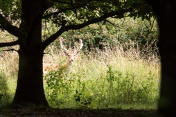 Deer in Dagnam Park Woodland 1
