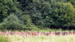 Herd of Deer in Dagnam Park