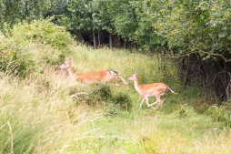 Deer in Dagnam Park 1
