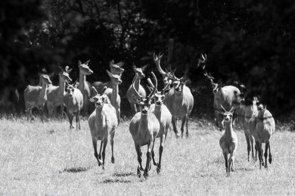 Stampede of Deer
