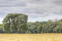 Singular Tree 1